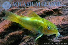 221055 Corydoras Neon Green Stripe