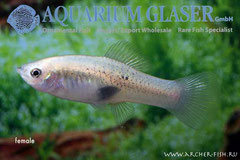476528 Xiphophorus evelynae, Самка