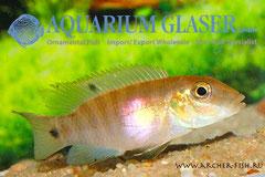 560454 Pelvicachromis signatus, Самка