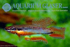 305312 (Сhrom)Aphyosemion bitaeniatum IJEBU-ODE g.br.,Самец