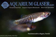 Neoheterandria elegans (Тигровый тедди), Самка