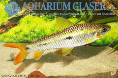 265745 Leporinus brunneus