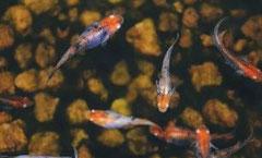 """Oryzias latipes """"Tricolor"""" (Японская медака """"Трёхцветная"""")"""