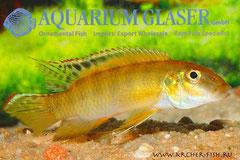 560454 Pelvicachromis signatus, Самец