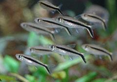Рыба-кочерга