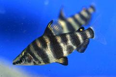 200511 Abramites hypselonotus