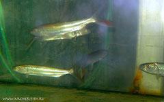 141403 Hydrocynus goliath, 10-12 см