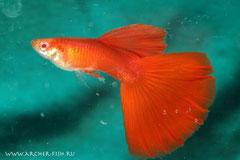418998 Guppy male Red Albino