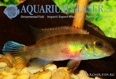 559554 Pelvicachromis humilis Liberia Red, Самка