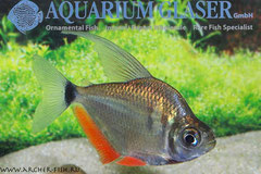 266004 Tetragonopterus argenteus