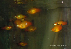 443103 Platy APPLE TRICOLOR