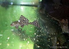 L001-2 Glytopterichthys joselimaia 6-8cm