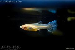 419097 Guppy Albino Pastel, Самка