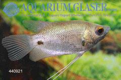 440921 Osphromenus laticlavius 4-6 cm