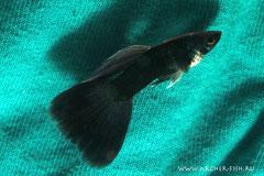 418255 Guppy males Full Black