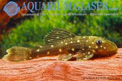 262622 Hypostomus luteus bred 4-6 cm