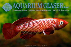 330513 Nothobranchius eggersi Red