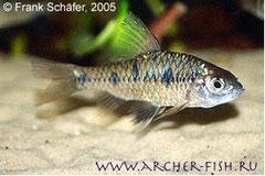 371203 Barbus sahyadriensis