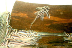 Гипанциструс зебра