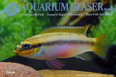 562702 Pelvicachromis taeniatus Bipindi wild, Самка