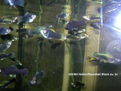 Helleri/Swordtail Black eu.br.