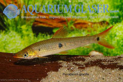 205733 Anostomus (Pseudanos) gracilis