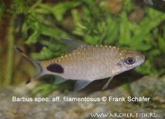 369505 Barbus assimilis (=spec. aff. filamentosus)