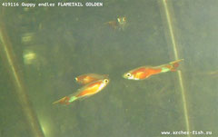 419116 Guppy endler Flame-tail Golden