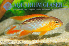 614873 Apistogramma agassizi Fire-Red