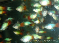 442623 Platy Blue/Red Tail