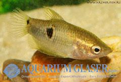 441233 Parasphaerichthys ocellatus