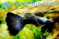 419173 Guppy Moscow Blue