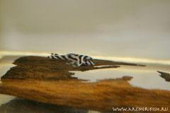 L 046X-0 Hypancistrus zebra g.br.2-3cm