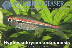 259453 Hyphessobrycon amapaensis