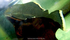 L 047-7 Parancistrus sp.Magnum-Orange
