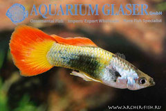 418623 Guppy Neon Flame