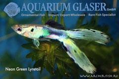 418883 Guppy Neon-Green Lyretail