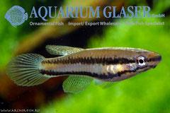 305312 (Chrom)Aphyosemion bitaeniatum IJEBU-ODE g.br.,Самка