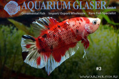 390075 Betta splendens Koi-1