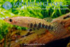 303303 Aplocheilus dayi dayi, Самка