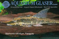 294874 Sturisoma robustum paraguay