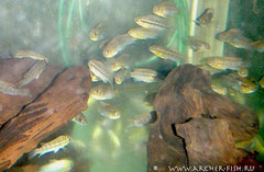 560513 Pelvicachromis silviae wild, Сток