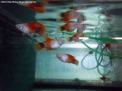443313 Platy Mickey Mouse Red High Fin