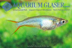 Oryzias woworae (Рисовая рыбка Вовора)