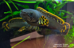 409323 Channa sp. FLAME-FIN