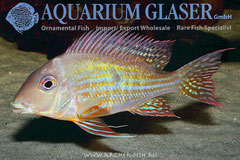 "675003 Geophagus altifrons ""Alenquer"""