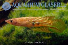 303303 Aplocheilus dayi dayi, Самец