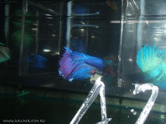 390555 Betta splend.MALE GIANT HALFMOON