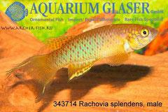 343714 Rachovia splendens