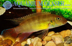 559554 Pelvicachromis humilis Liberia Red, Самец